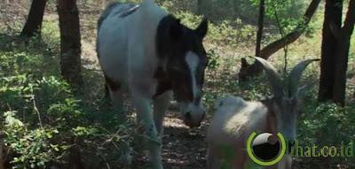 Pasangan Kuda Dan Kambing Tua