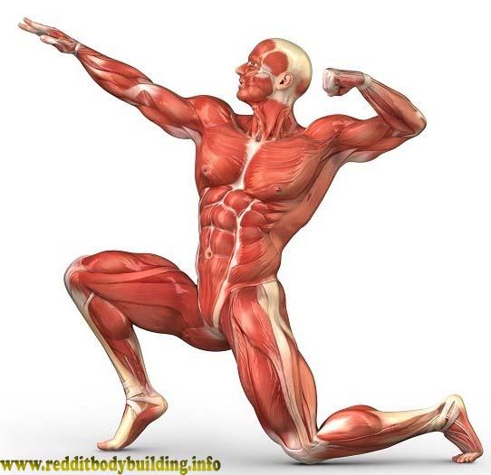 Top Simple Muscle Building Exercises  Bodybuilding diet