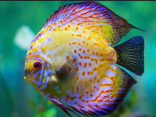 Ikan hias discus berupa gambar