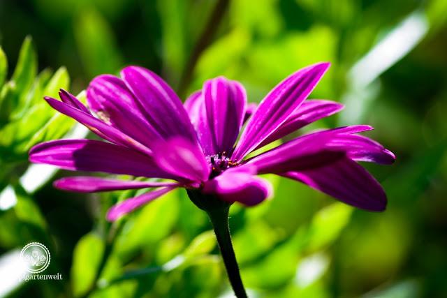 Kapkörbchen gute Einjährige für den Herbstgarten - Gartenblog Topfgartenwelt