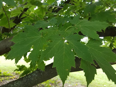 Future Plants By Randy Stewart Old World Maples