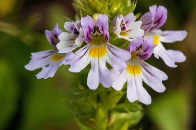 [Orobanchaceae] Euphrasia sp. – Alpine Eyebright