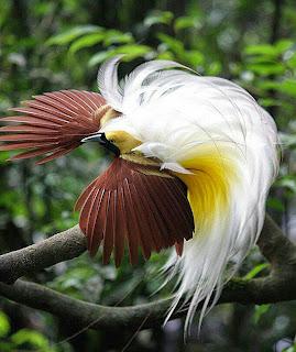 Suara burung cenderawasih kuning kecil mp3