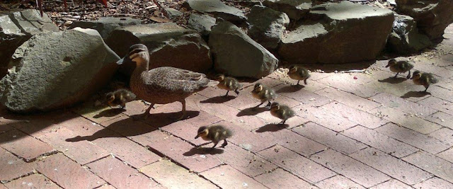 A mother duck leads her eight ducklings along the pavement in the hospital garden.