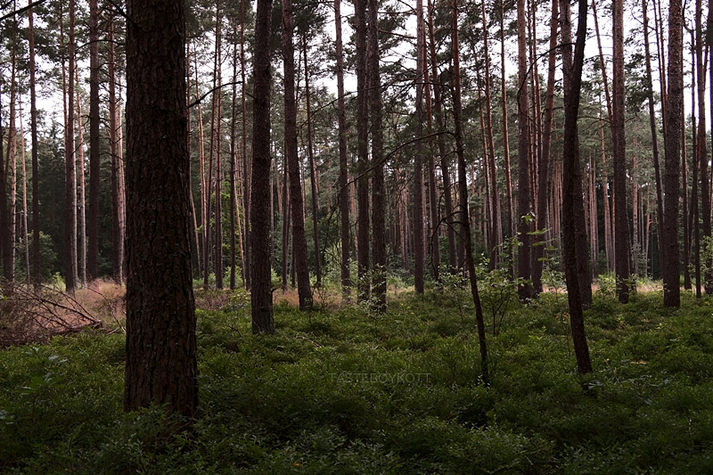 forest in summer photography dark and moody blueberries and trees // Wald im Sommer und Heidelbeeren Fotografie düsteres Licht