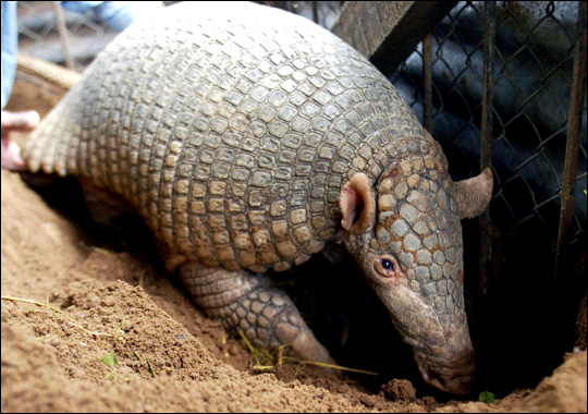 true wild life giant armadillo the giant armadillo is the largest of    Giant Armadillo