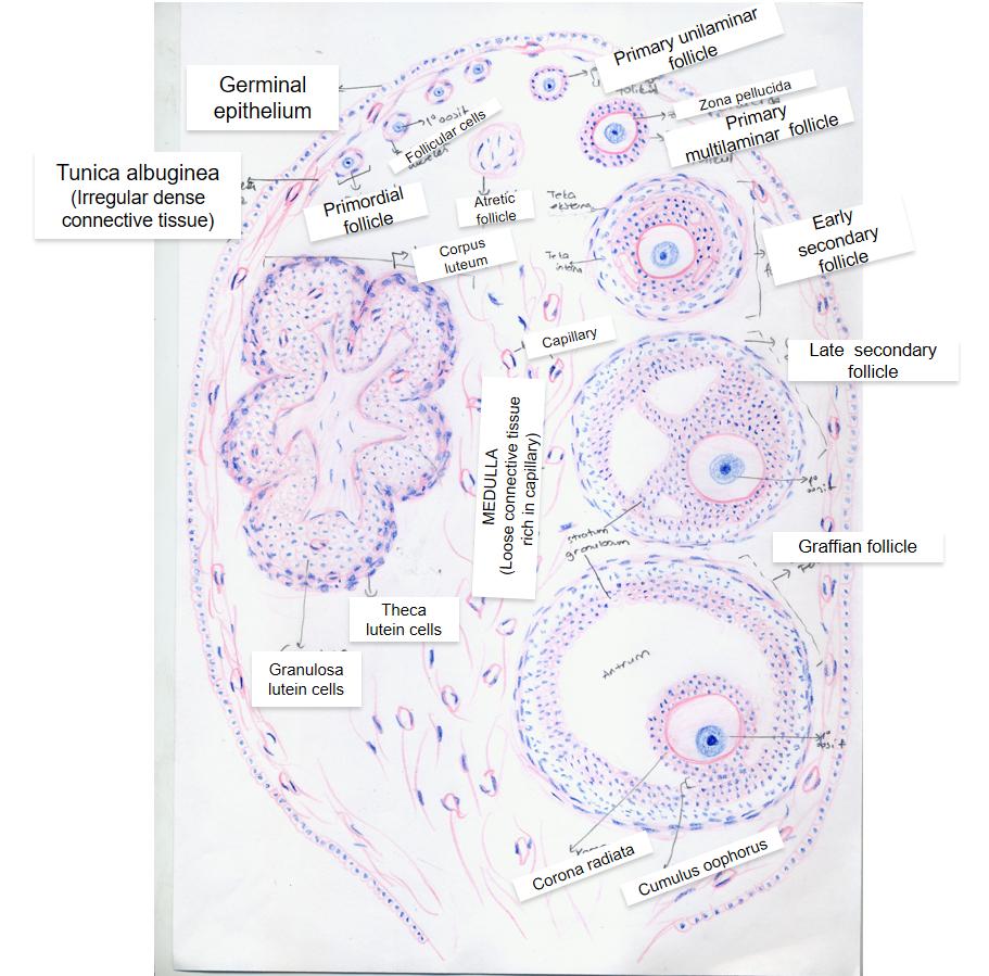 ovary hematoxylin eosin  [ 911 x 899 Pixel ]