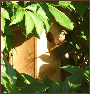 Female House Sparrow beside birdhouse - photo by Shelley Banks