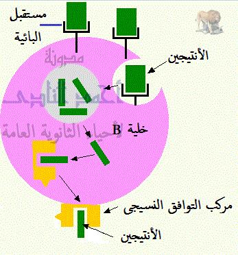 المناعة فى الإنسان - المناعة المكتسبة - خط الدفاع الثالث - المناعة الخلطية - الإفرازية - بالأجسام المضادة-خلية بائية عارضة للأنتيجين