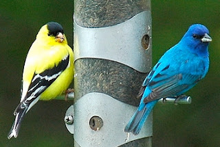 Image result for indigo bunting with goldfinches