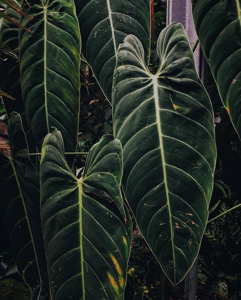 Hojas verdes de Philodendron