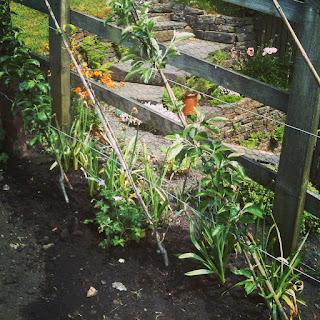 gardening, fruit trees, cordon, apples, pears, gardening, growing