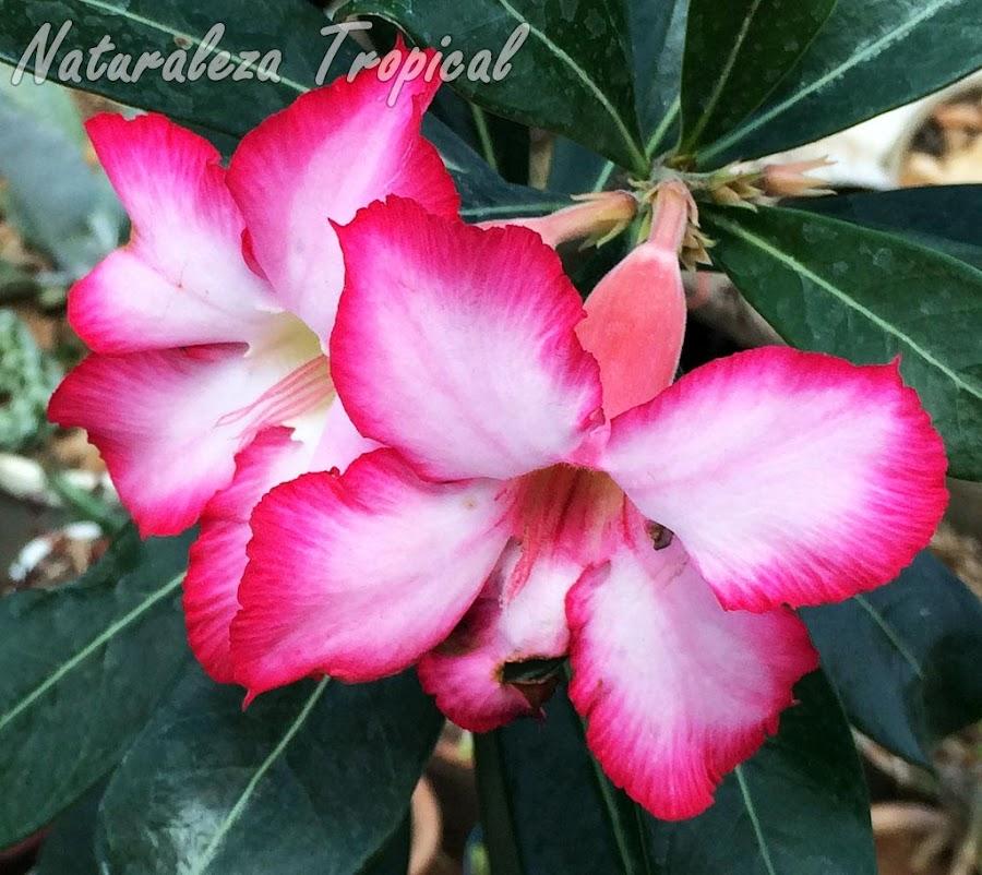 Germina tus semillas de la famosa Rosa del Desierto (Adenium obesum) sin fallar