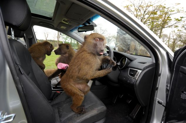 The animal zone: Ok, so who knows how to drive? Forty safari park
