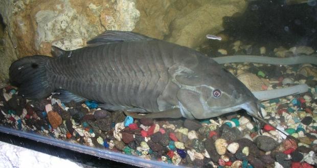 Armoured catfish aquarium