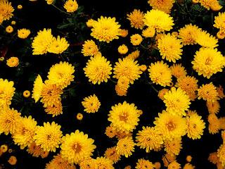 Żółte kwiaty chryzantemy