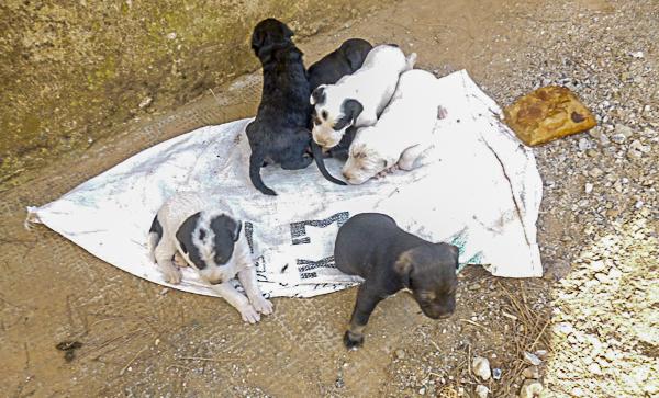 08f9b101698b Ο Φιλοζωικός Σύλλογος Σκοπέλου Straycare Skopelos απευθύνει επείγουσα  έκκληση για τη φιλοξενία ή την υιοθεσία των έξι κουταβιών που βρήκαν  άνθρωποι της ...