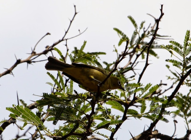 African Montane White-eye (Zosterops poliogastrus) in Ethiopia