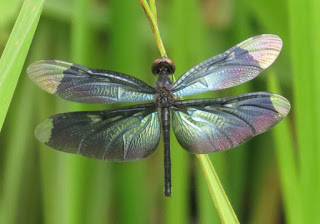 Rhyothemis plutonia, Greater Bluewing