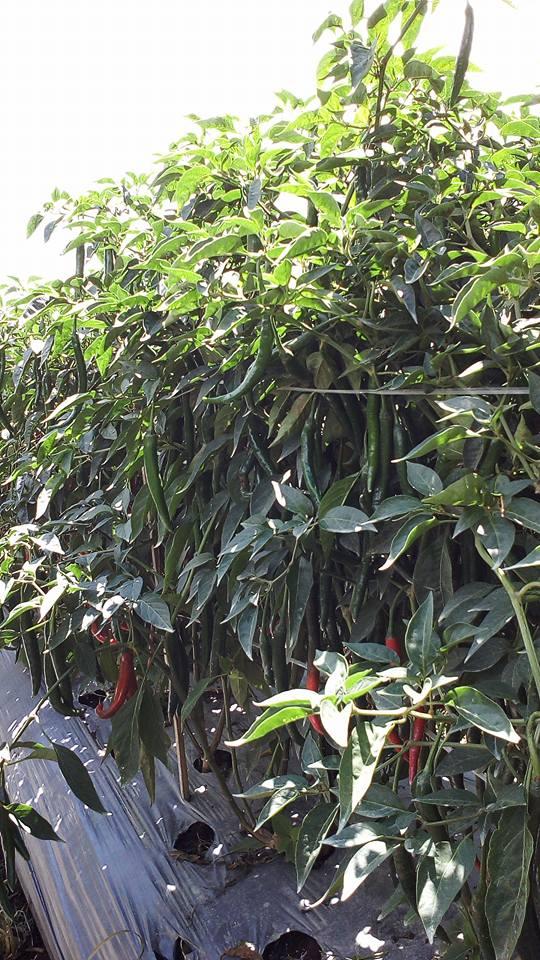 Tanaman Cabe Berbuah Lebat Karena Lahan Tanamnya Terbebas dari Gulma/Rumput Liar