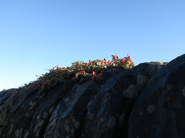 Plant on wall (with lichen) caught in sunshine on late autumn day
