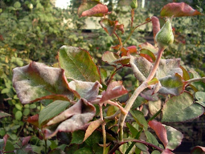 powdery mildew мучнистая роса на розах борьба защита препараты фунгициды