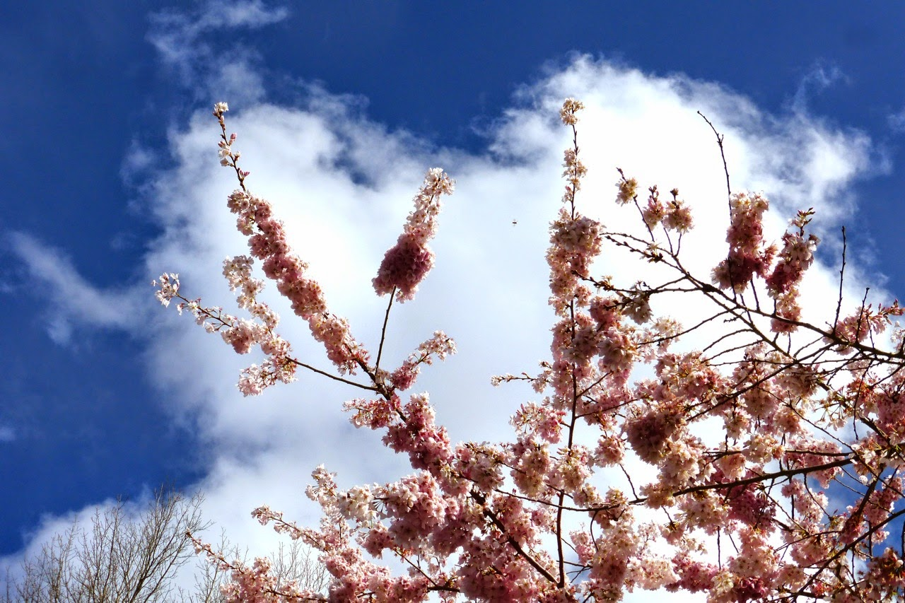 ume hanami, first day of spring, under a plum blossom tree, plum blossoms, pink plum blossoms, plink blossoms, blue sky