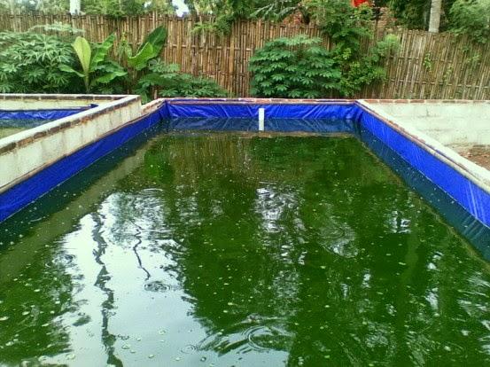 Ikan Lele Mengambang Di Permukaan Air Apa Yang Terjadi Teknik Tani Ikan