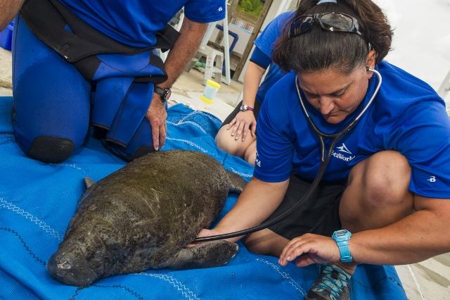 Orphaned Manatee Calf At SeaWorld Orlando
