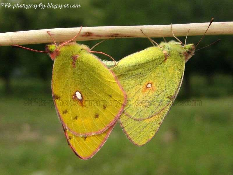 the clouded yellow butterfly nature cultural and travel  common clouded yellow butterflies mating picture