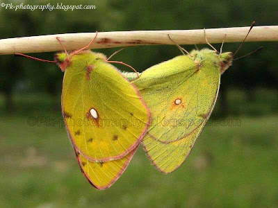 Common Clouded Yellow Butterflies Mating Picture