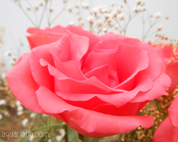Pink Rose Bouquet Photo by Aquariann