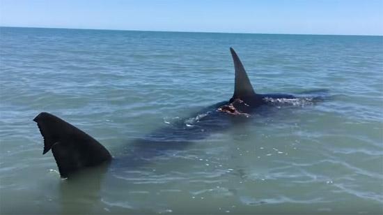 Grande tubarão branco é filmado nadando em águas rasas -Img 2