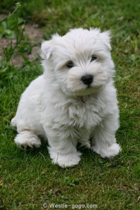 Westie puppy ~ Spencer
