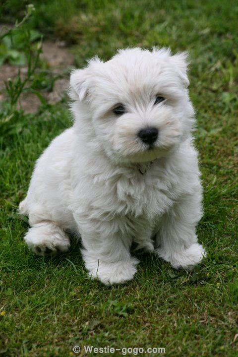 Westie puppy ~ Spencer