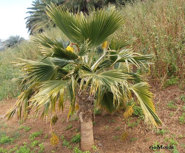 PALMERA DE FIYI Pritchardia thurstonii
