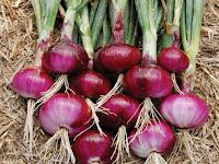 Yukk Bertani Bawang Merah Dengan Media Polybag!