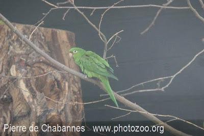 Aratinga de La Española: Aratinga Psittacara chloropterus