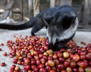 Civet coffee is kopi luwak