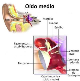 Anatomía del oído medio