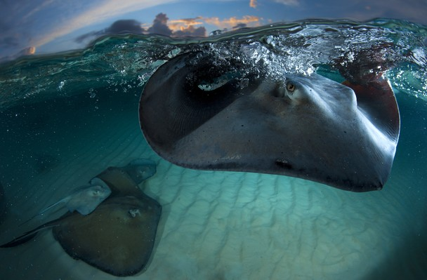 National Geographic Photo Contest 2011 - Stingray