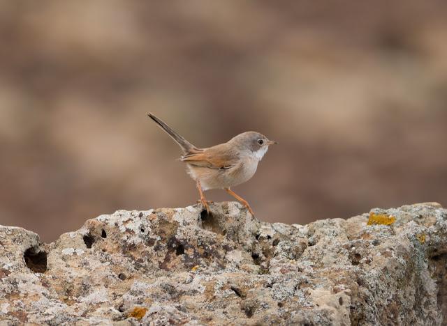 Spectacled Warbler - Mareta de Fimapaire, Fuerteventura