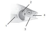 alat pernapasan pada ikan