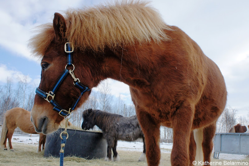 Blida the Icelandic Horse Ofelas Outdoor Winter Activities in Sweden's Lapland