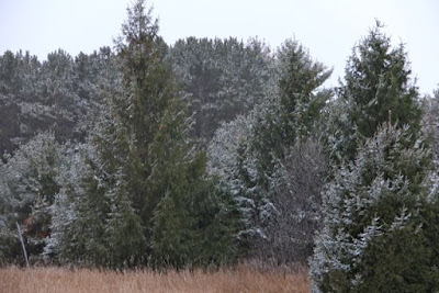 light wind-driven snow coating conifers