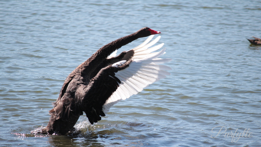 black swan having a stretch