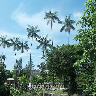 palmeiras-juçara-em-praça-publica