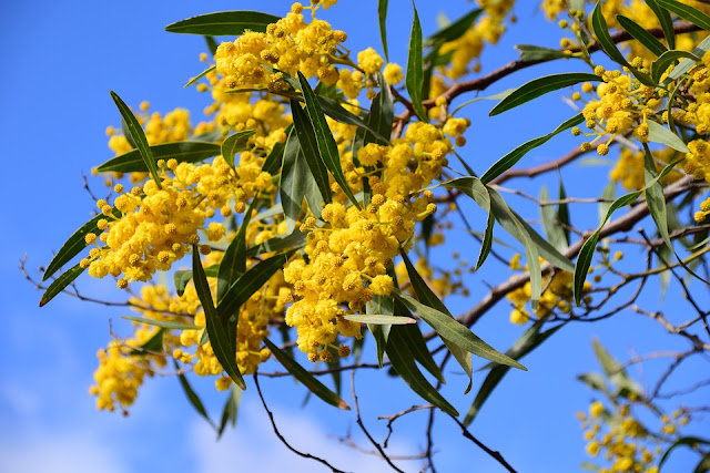 acacia-o-mimosa