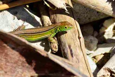 Native lizard Utila