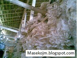 Bisnis Sampingan Budidaya Jamur Tiram